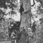 Sosna z barcią w puszczy około Drozdynia, pow. Stolin, Polesie (Polska) (K. Moszyński 1929, s.135)